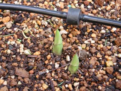 ギボウシ(サガエ)の芽出し