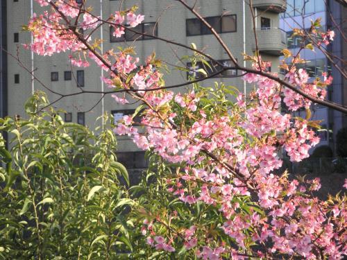 お茶の水坂の花