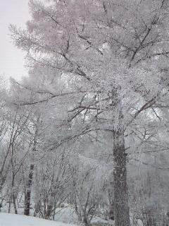 201002131341000薄墨桜