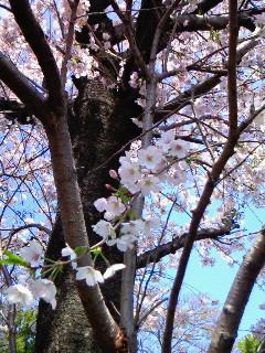 201004081124002庭の桜