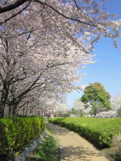201004081404000桜と緑
