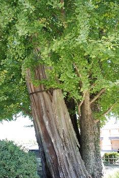 清正が植えた銀杏。