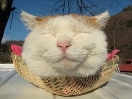 かご猫 シロ