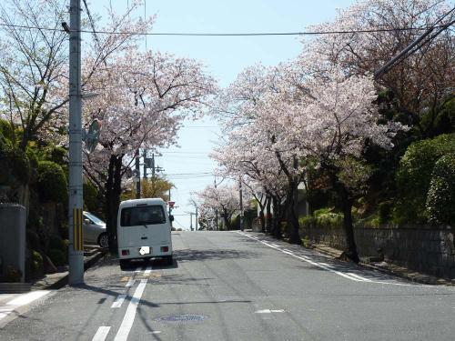 cherry blossom ST