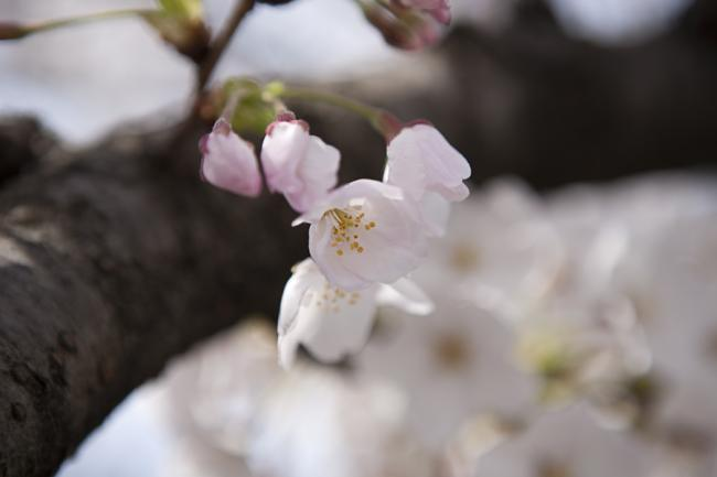 桜(大分)-1