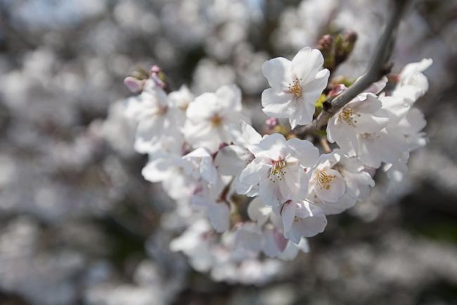 桜(大分)-5