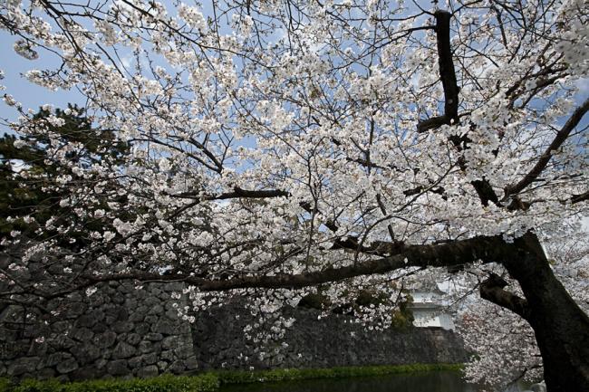 桜(大分)-2