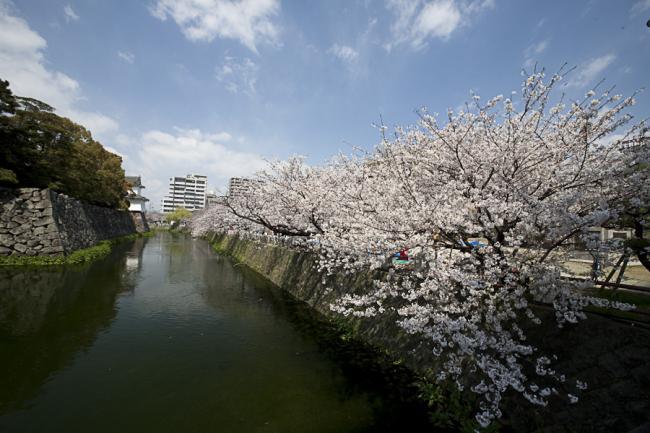 桜(大分)-7