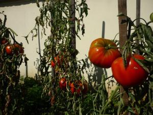 tomate10-1.jpg