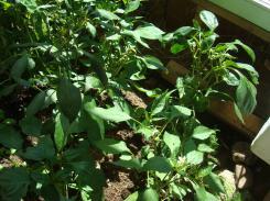 7-25 pepper