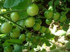 7-25 tomato