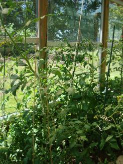 7-25 tomato1
