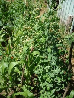 7-25 beans-corn