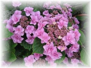 2010年6月18日紫陽花