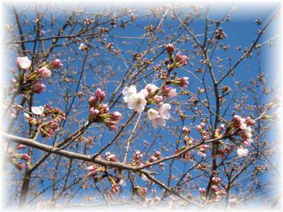 2011年4月5日桜