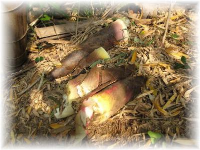 2011年4月30日筍掘り④