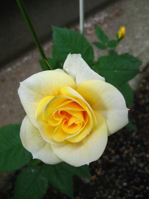 日陰に咲くバラ