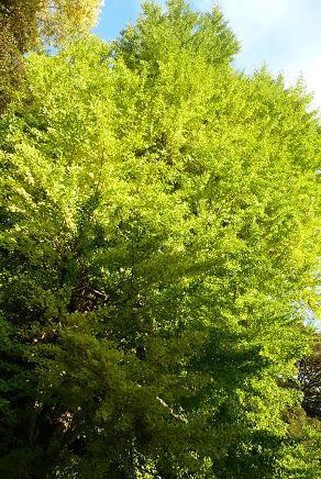 立派な銀杏の木