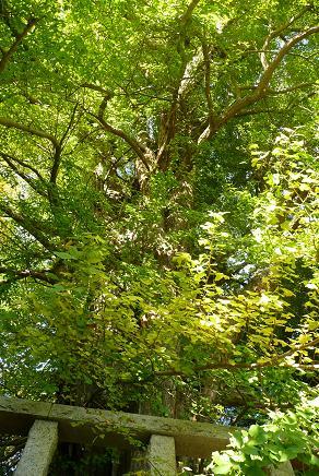 大きく分かれた枝