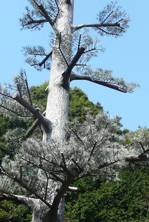 ちょっと違和感のある松の木
