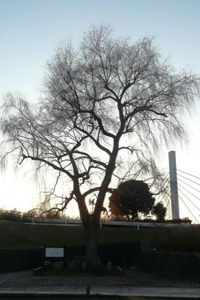 一本の大きな柳の木