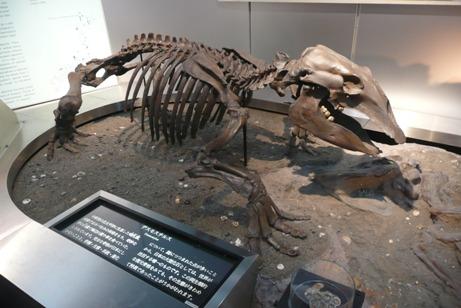 デスモスチルスの化石