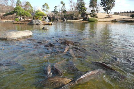 浄土式庭園の鯉