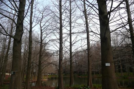 植物館前のラクウショウの木々と池