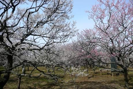 七部咲きの梅林