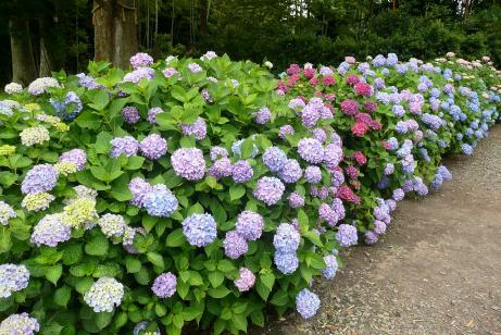 色々なあじさいの花