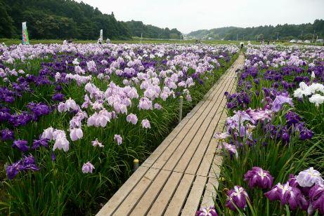 花しょうぶ園内の木道