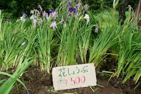 花しょうぶ苗の販売