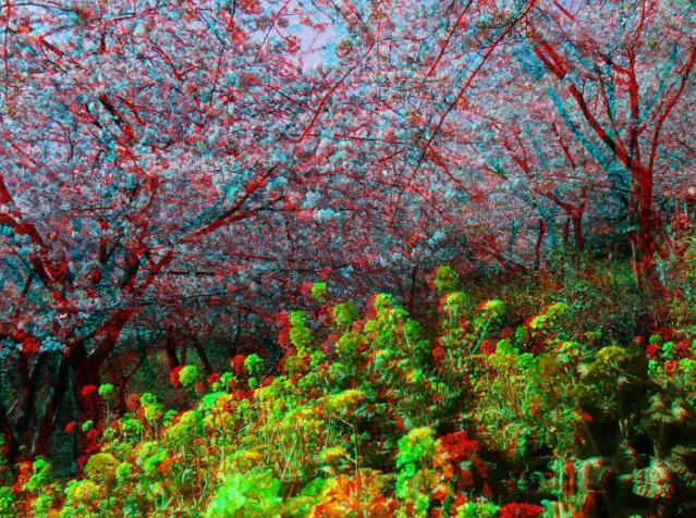 アナグリフ 河津桜と菜の花1