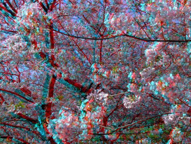 アナグリフ 目一杯の桜