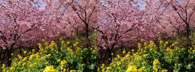 河津桜と菜の花1