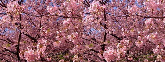 目一杯の桜