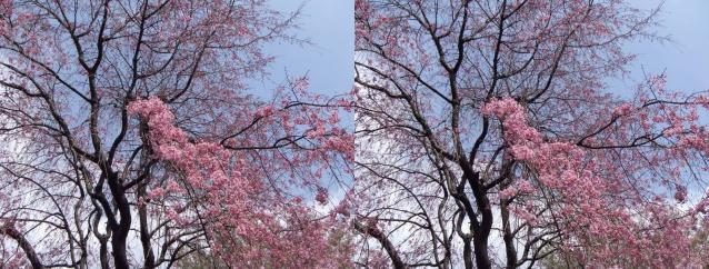 桜と花々1