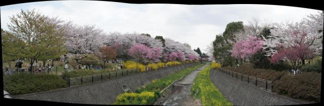 パノラマ写真桜満開