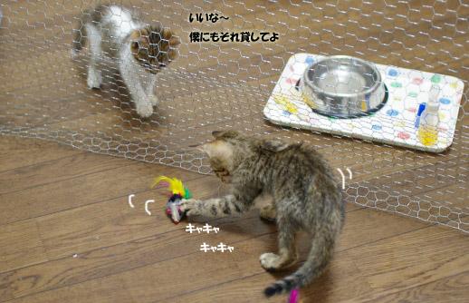 キジトラちゃん遊ぶコピー