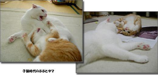 子猫時代のぷぷとタマ定 1