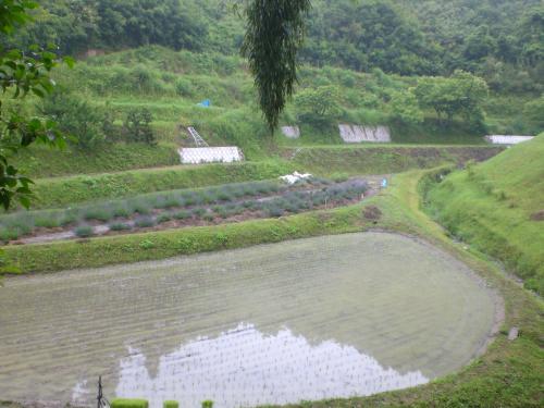 6月の田んぼ