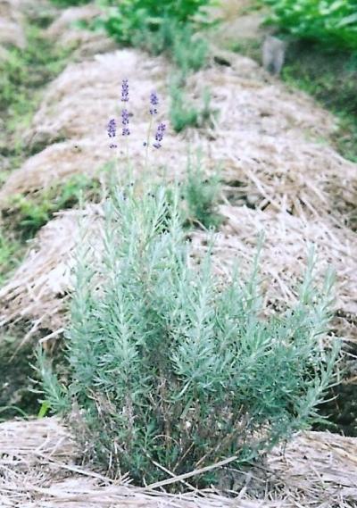 8月の田んぼ5