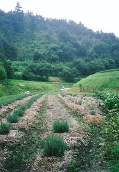 8月の田んぼ6