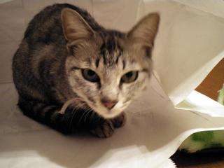 シロ子in紙袋