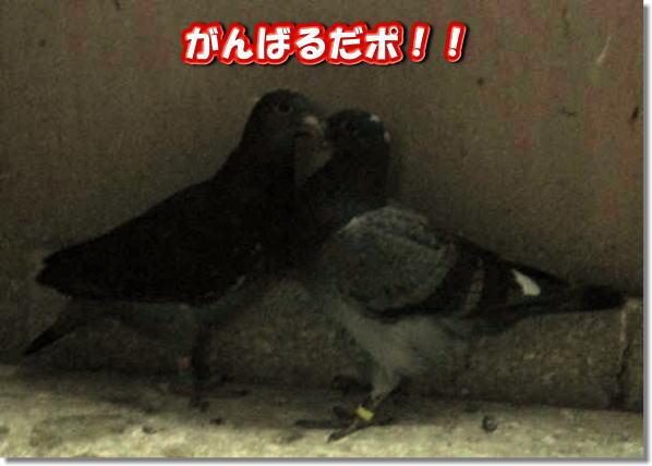 hatoko3.jpg