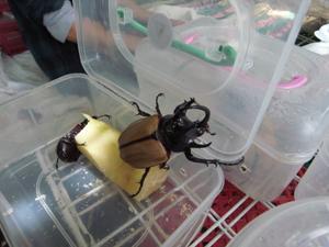 5 horn beetle