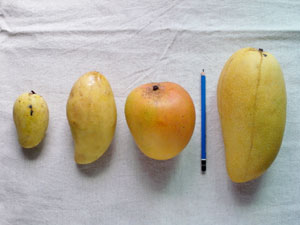 various mangoes