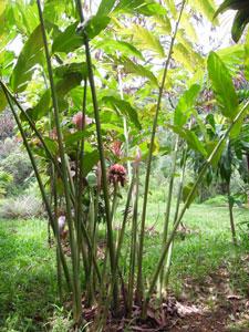 Dala Flower, Torch Ginger