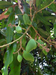 red ants like to house on mango trees