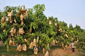 Mango trees at Royal Project